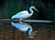 Great Egret taken by Dan Mitchell in Tigard, Oregon on 10/28/2007.